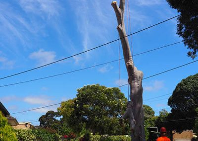 40 foot tree removal - blue gum Central Tree & Stum Removal