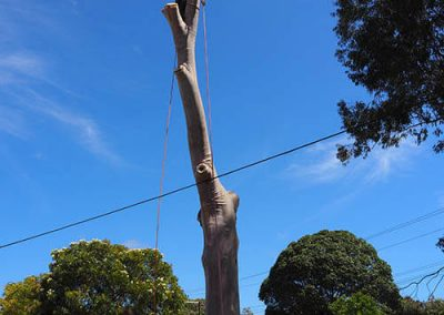 Team of 3 for Safety - sawing blue gum tree trunk