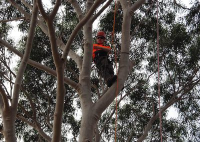 Gum Tree Pruning - Cental Tree & Stump Removals