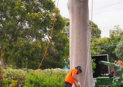 Preparing Safety ropes For Tree Ascent Central Tree & Stump
