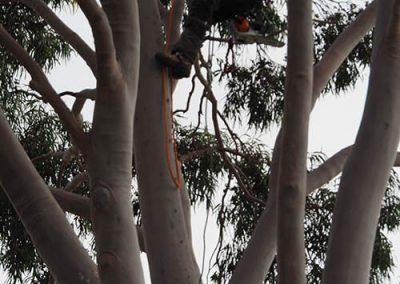 Tree Pruning Flagstaff Hill
